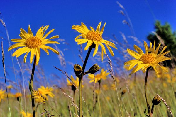 Fleurs-Arnica--MARBACH-ET-SCHWEBEL-_-Region-Alsace.png