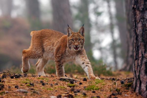 Lynx-foret--Karel-Bartik---Stock.Adobe.com.png
