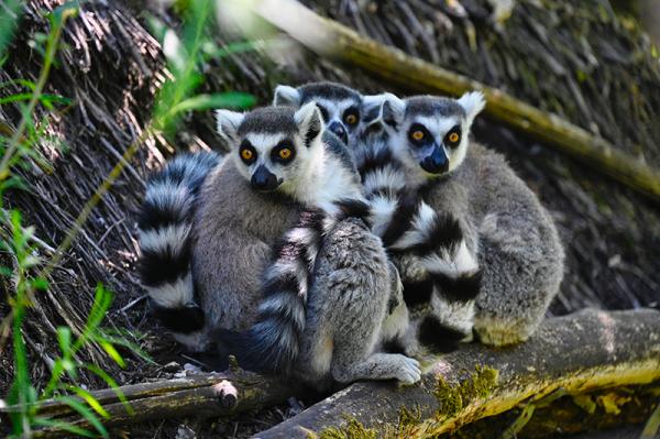 lemurien.png