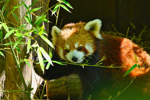 panda-roux.png